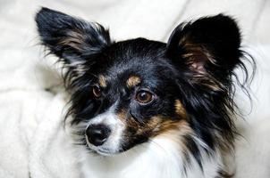Papillon headshot photo