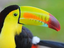 Toucan. Keel Billed Toucan, from Central America