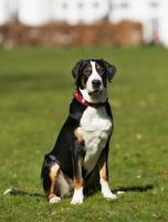 Greater Swiss Mountain Dog outdoors in nature photo