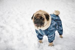 Little sad pug photo