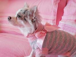 chihuahua vestido con lazo rosa foto