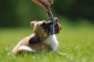Chihuahua puppy play game with toy in woman hand photo