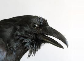 cabeza de cuervo negro foto