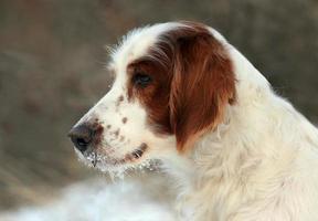 portrait de setter neigeux