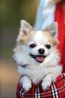 lindo perro chihuahua dentro de bolsa para mascota foto