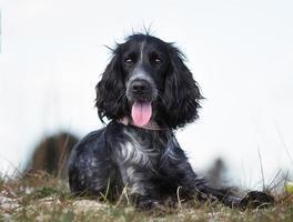 perro cocker spaniel al aire libre en la naturaleza foto