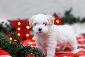 maltés shih tzu cachorro de navidad foto