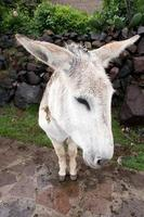 Donkey in Colca Canyon
