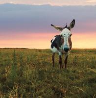 Donkey sunset photo