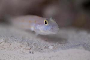 Diamond Watchman Goby photo