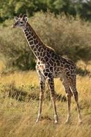jirafa joven (giraffa camelopardalis) foto