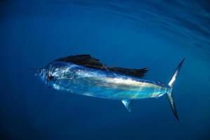 salifish en el océano foto