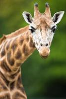 jirafa (giraffa camelopardalis) foto