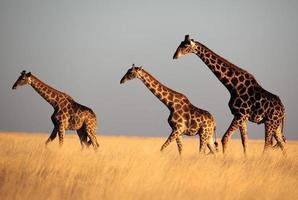 Giraffe trio in sunset light