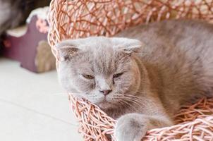 sleepy scottish fold cat