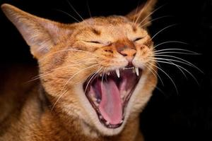 Abyssinian cat yawns photo