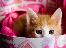 Small ginger kitten hiding in a colorful round box photo
