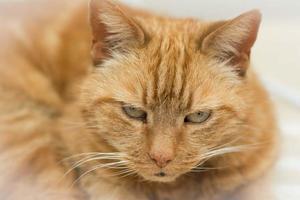 Gato anaranjado foto