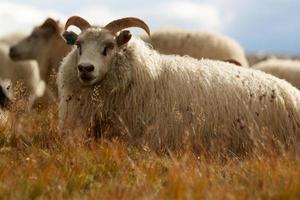 Icelandic ram sitting in yellow grass photo