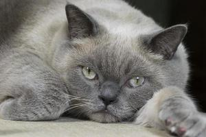 british shorthair cat photo
