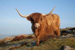 vaca das montanhas
