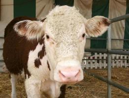 vaca adorable foto