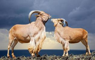 Standing couple of barbary sheep on rock