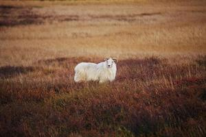 Iceland sheep photo