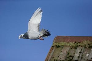 Domestic pigeon, Columba livia domestica