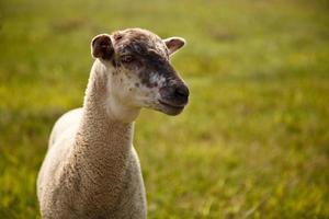 Mary had a little lamb photo