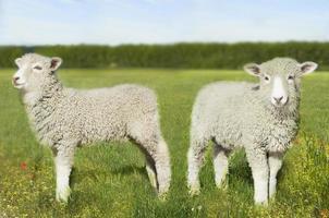 corderos en campo foto