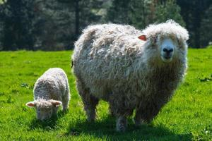 sheep with young offspring on green grass