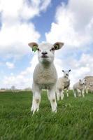 agneau au printemps