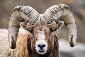 montaña rocosa ovejas con cuernos grandes foto