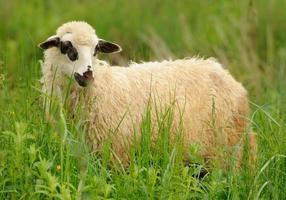 White sheep in grass photo