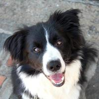 Border collie waiting for a gesture of his master