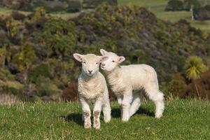 playful lambs photo