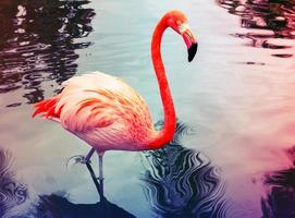Pink flamingo walks in the water with reflections