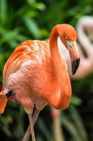 Flamingo photo