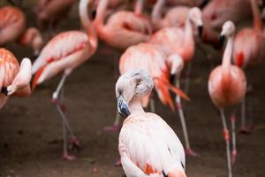 Group of pink flamingos in natural environment