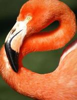 Bright pink flamingo on the green background