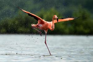 The flamingo runs on water with splashes