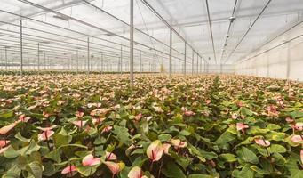 plantas de flores flamingo em um viveiro de flores holandês