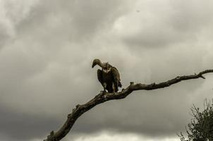 Three vultures on a tree.