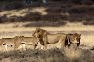 trots van leeuwen op mpayathutlwa pan, mabuasehube gebied, kgalagadi park