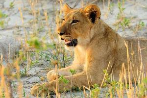 cachorro de león joven acostado foto