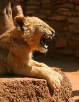 lion puppy photo