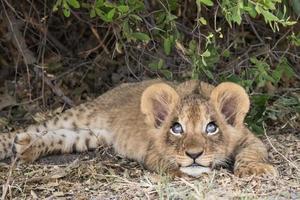 schattige leeuwenwelp ziet er ondeugend uit