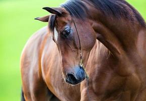Horse head (portrait) on green background outdoor