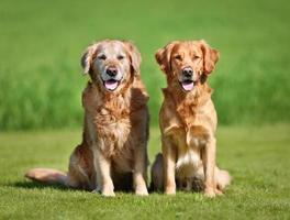 Two golden retriever dogs photo